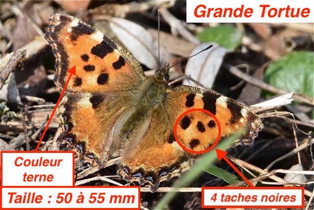 https://cdnfiles2.biolovision.net/www.faune-lorraine.org/userfiles/GrandeTortueFMH.jpg