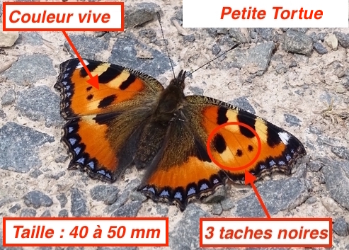 https://cdnfiles2.biolovision.net/www.faune-lorraine.org/userfiles/PetiteTortueLT.jpg