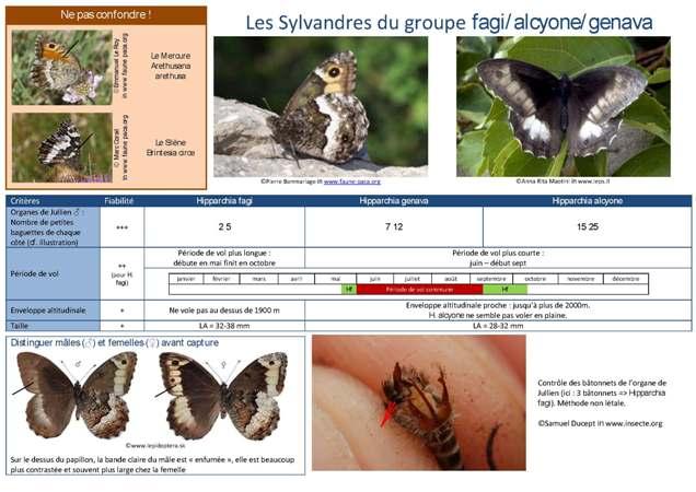 https://cdnfiles2.biolovision.net/www.faune-paca.org/userfiles/Critreshipparchia.f-g-a.jpg