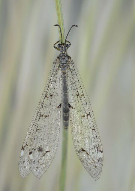 https://cdnfiles2.biolovision.net/www.faune-paca.org/userfiles/Nevropteres/FourmilionlongicorneJean-michelBompar.jpg