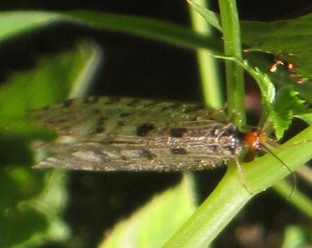 https://cdnfiles2.biolovision.net/www.faune-paca.org/userfiles/Nevropteres/Osmylusfulvicephalusauteurnondiffusdonneeprotegee.jpg
