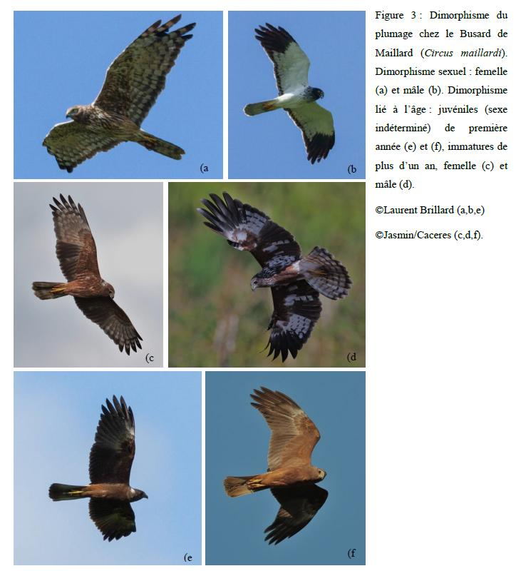 evolutionplumagepapangue
