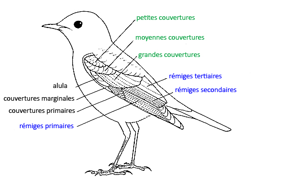 https://cdnfiles2.biolovision.net/www.faune-reunion.fr/userfiles/lecoindunaturaliste/topooiseau.jpg