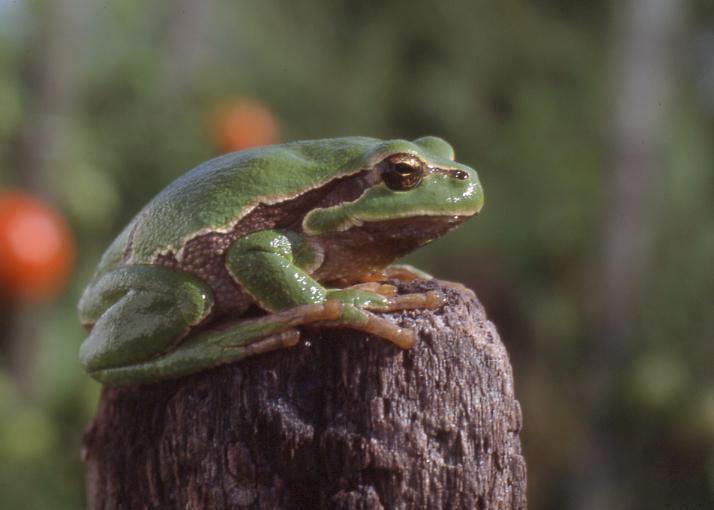https://cdnfiles2.biolovision.net/www.faune-vendee.org/userfiles/RainetteFSig.jpg