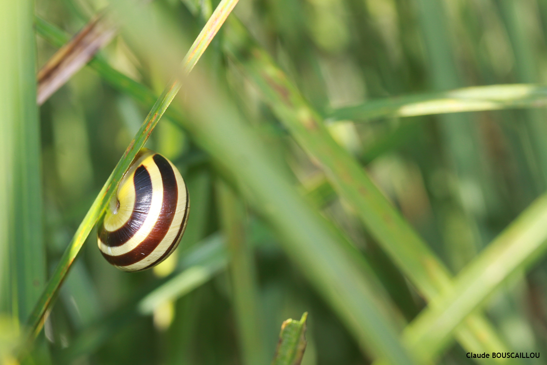 https://cdnfiles2.biolovision.net/www.faunegeneve.ch/userfiles/gasteros/Escargotdesjardins-Cepaeahortensis.jpg