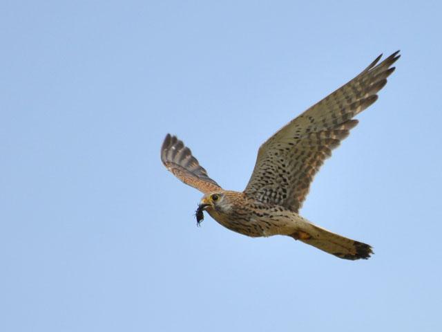Faucon crécerelle en vol avec une proie