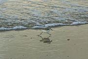 Bécasseau sanderling Calidris alba
