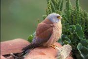 Faucon crécerellette Falco naumanni