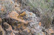 Monticole de roche Monticola saxatilis