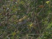 Pouillot siffleur Phylloscopus sibilatrix