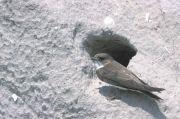 Hirondelle de rivage Riparia riparia