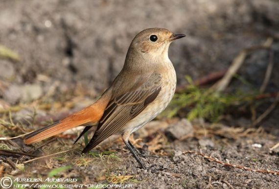 oiseau Martin 25 janvier trouvé par Ajonc RqfbAA-9515