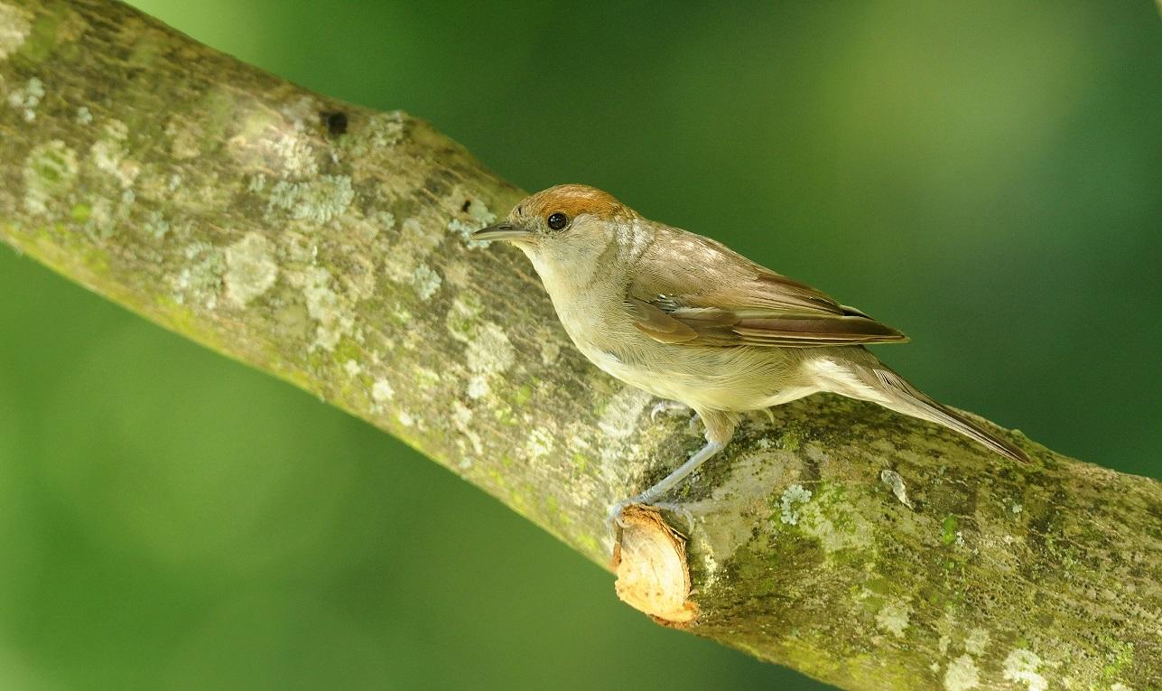 https://cdnfiles2.biolovision.net/www.oiseauxdesjardins.fr/userfiles/FauvettettenoireJeanBisetti.jpg