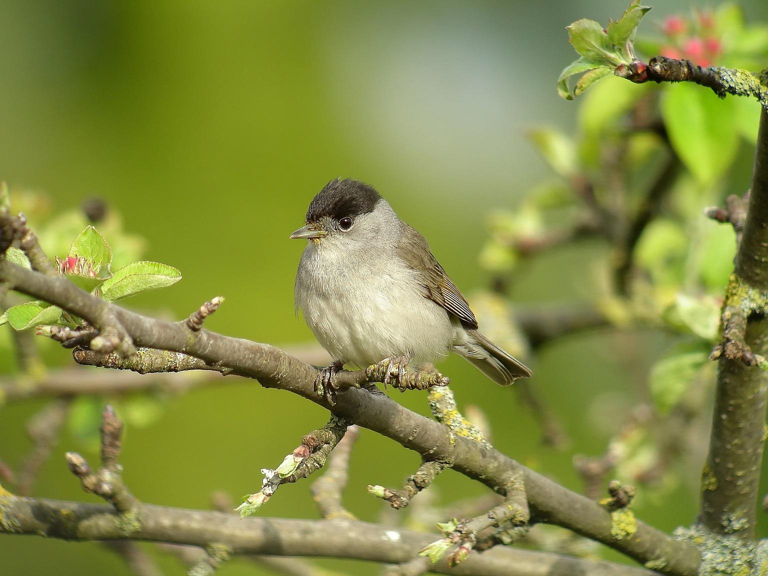 https://cdnfiles2.biolovision.net/www.oiseauxdesjardins.fr/userfiles/FauvettettenoiremleF.Croset.jpg