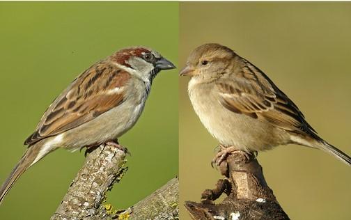 https://cdnfiles2.biolovision.net/www.oiseauxdesjardins.fr/userfiles/MoineaudomestiquemleetfemelleCroset.jpg