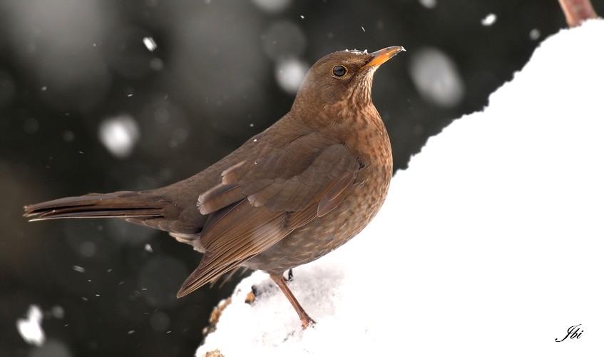 https://cdnfiles2.biolovision.net/www.oiseauxdesjardins.fr/userfiles/merlenoir-femelleJeanBisetti.jpg