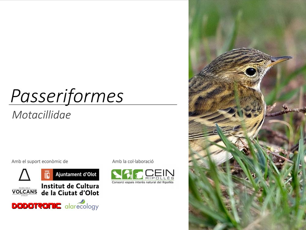 https://cdnfiles2.biolovision.net/www.ornitho.cat/userfiles/Nocmig/MOTACILLIDAE.jpg