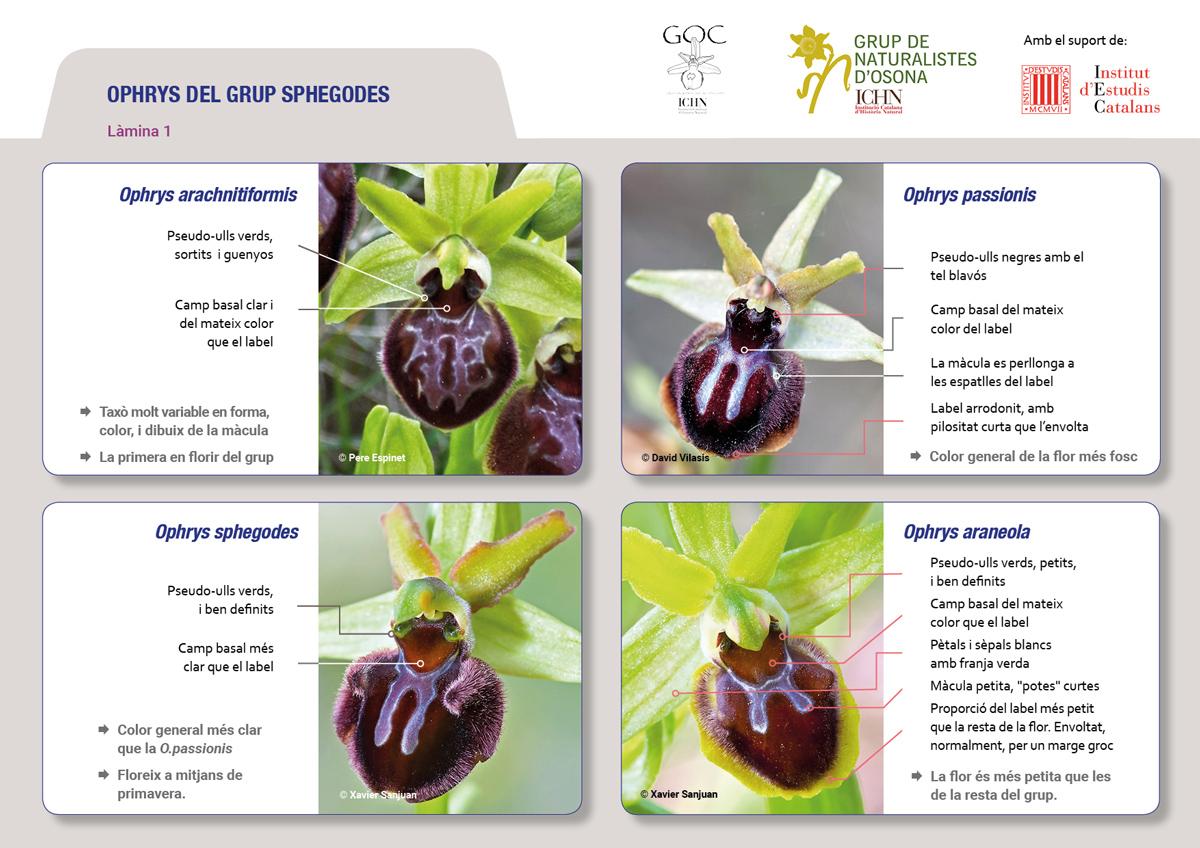 https://cdnfiles2.biolovision.net/www.ornitho.cat/userfiles/Orquis/lamines9juliol191.jpg