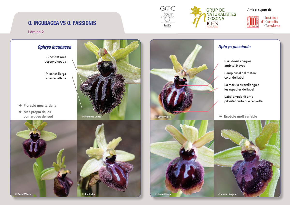 https://cdnfiles2.biolovision.net/www.ornitho.cat/userfiles/Orquis/lamines9juliol192.jpg