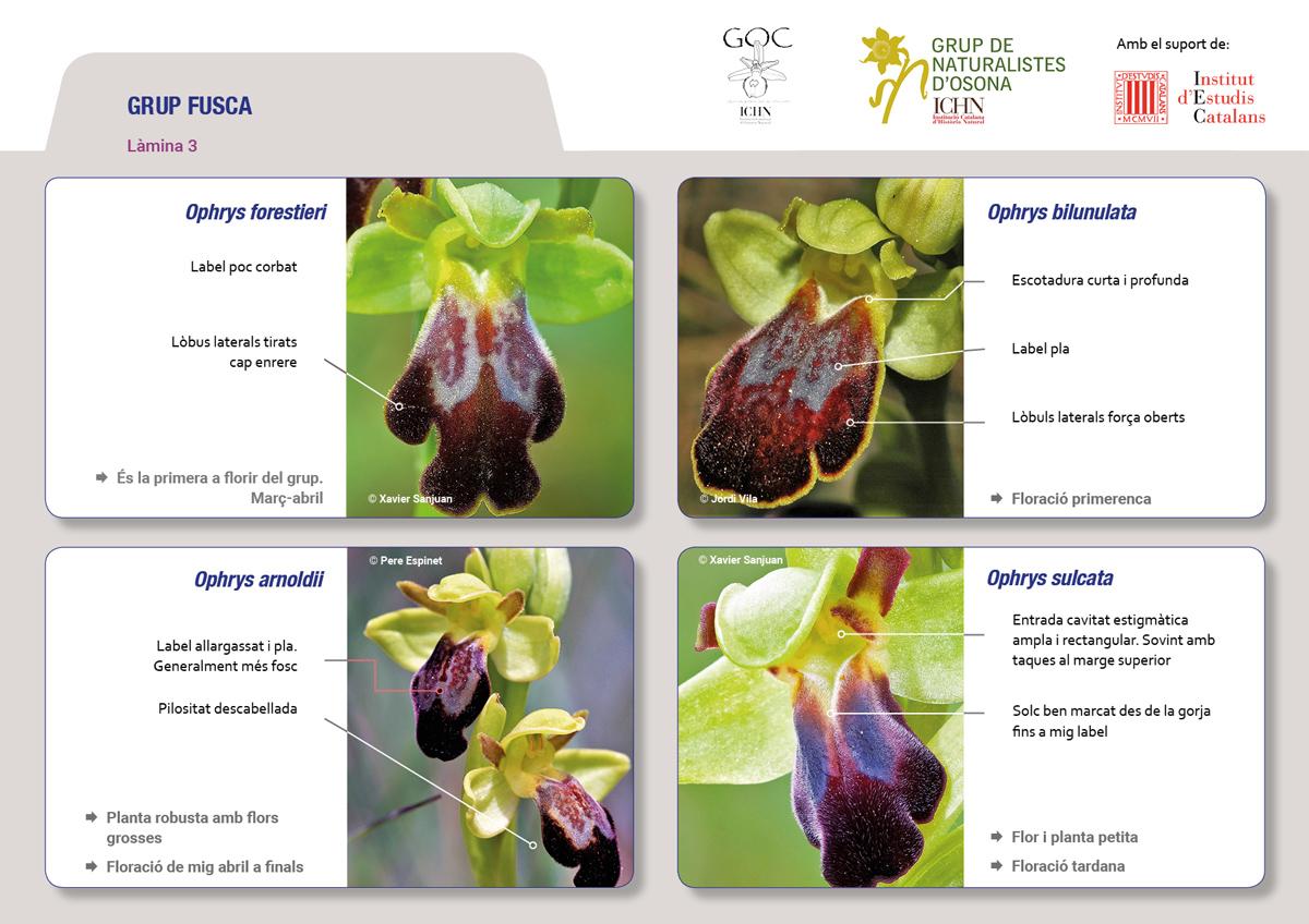 https://cdnfiles2.biolovision.net/www.ornitho.cat/userfiles/Orquis/lamines9juliol193.jpg