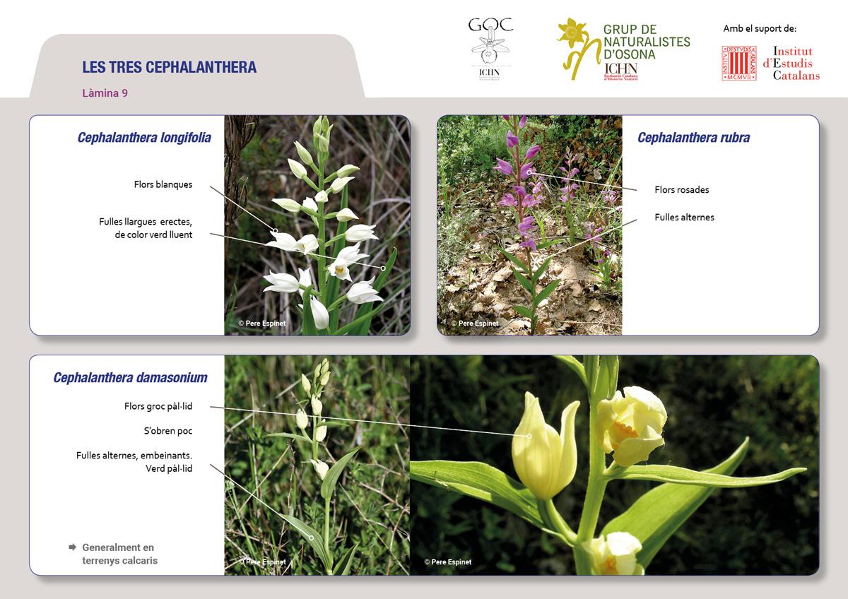 https://cdnfiles2.biolovision.net/www.ornitho.cat/userfiles/Orquis/lamines9juliol199.jpg