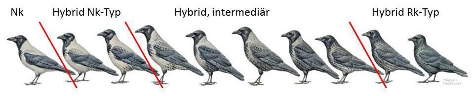 https://cdnfiles2.biolovision.net/www.ornitho.de/userfiles/infoblaetter/Anleitungen/Hybridkraehen-Duquet.jpg