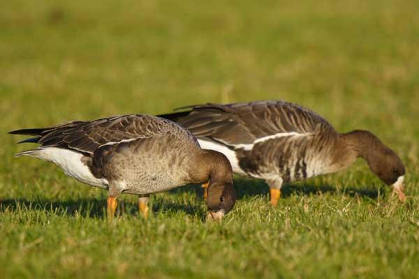 https://cdnfiles2.biolovision.net/www.ornitho.de/userfiles/infoblaetter/Anleitungen/Vogelmonitoring/GaenseSchwaene/D-NW-BlessgansjuvadHGlader.jpg