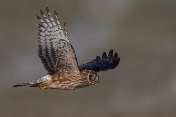 https://cdnfiles2.biolovision.net/www.ornitho.de/userfiles/infoblaetter/Anleitungen/Vogelmonitoring/GaenseSchwaene/KornweiheGZieger.jpg