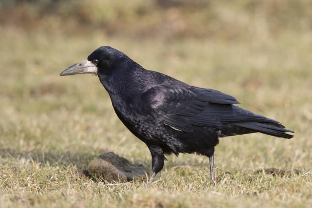 https://cdnfiles2.biolovision.net/www.ornitho.de/userfiles/infoblaetter/Anleitungen/Vogelmonitoring/MsB/SaatkraeheHGlader.jpg