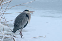 https://cdnfiles2.biolovision.net/www.ornitho.de/userfiles/infoblaetter/Anleitungen/Vogelmonitoring/WVZ/Graureiher-KGauger.jpg