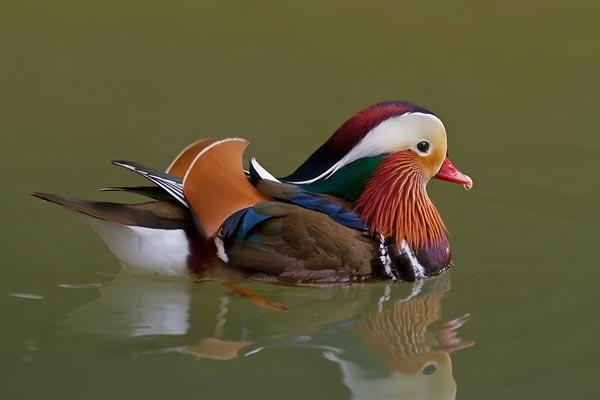 https://cdnfiles2.biolovision.net/www.ornitho.de/userfiles/infoblaetter/Anleitungen/Vogelmonitoring/WVZ/Mandarinente-CJansch.jpg