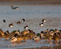 https://cdnfiles2.biolovision.net/www.ornitho.de/userfiles/infoblaetter/Anleitungen/Vogelmonitoring/WVZ/Wasservoegel-HGlader.jpg